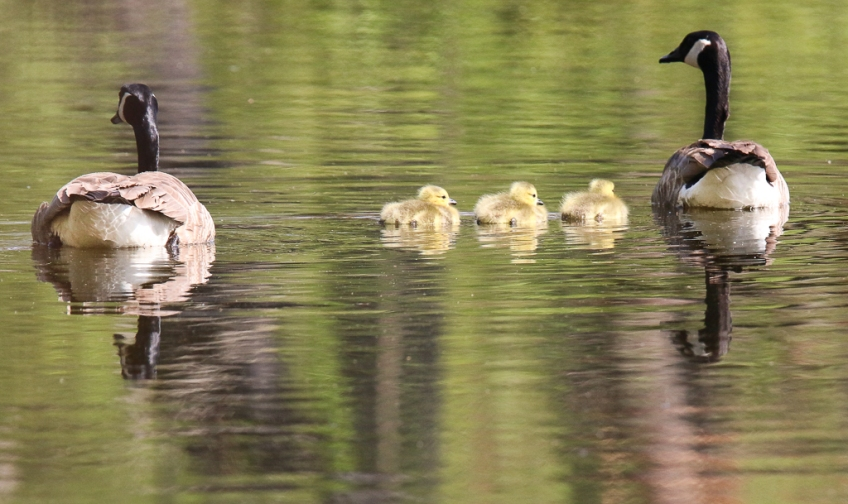 Canada Goose family-