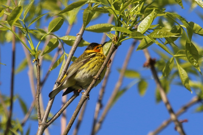 Cape May Warbler-