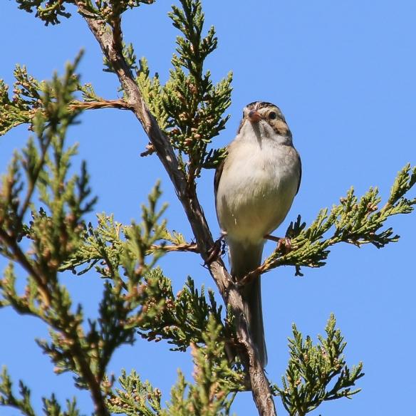 clay-colored sparrow-