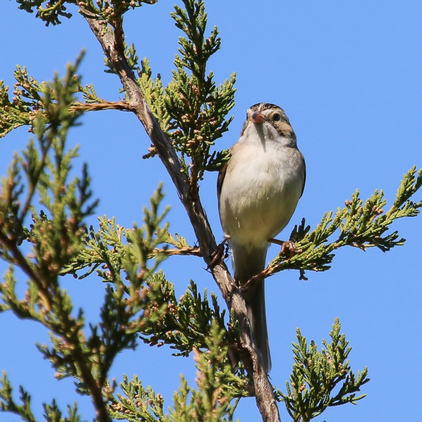 clay-colored sparrow-
