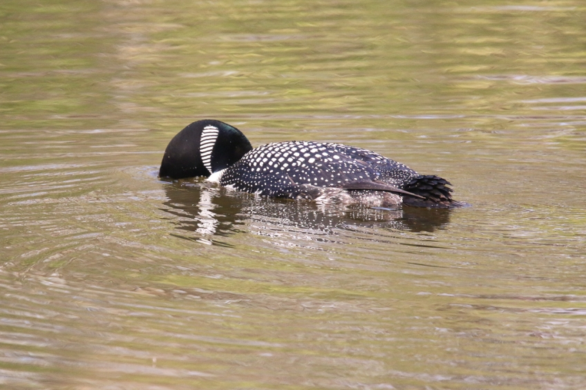 Common Loon-viewing fish underwater