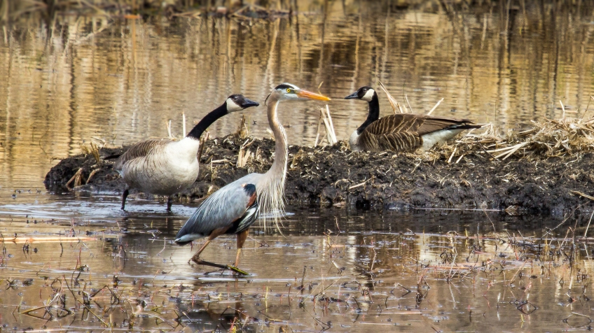 great blue heron-and-canada geese-
