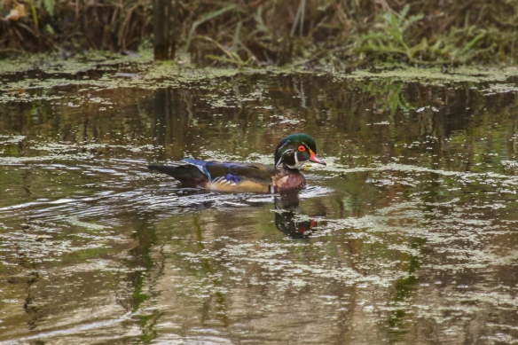 male wood duck-