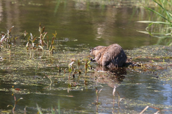 muskrat swimming-