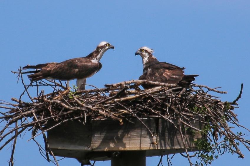 osprey-pair