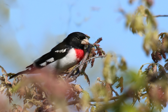 Rose-breasted Grosbeak-