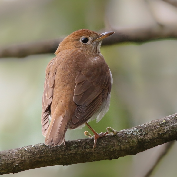 Gray-cheeked Thrush-