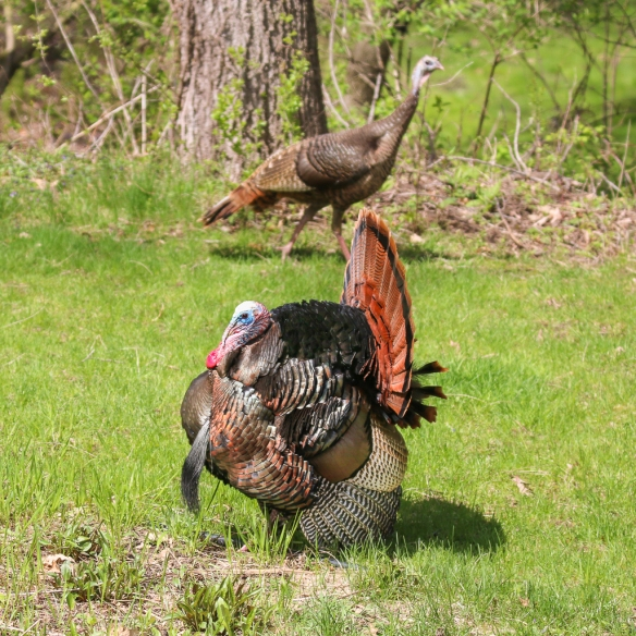 Tom Turkey display-