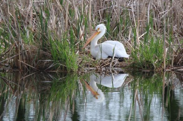 White Pelican-