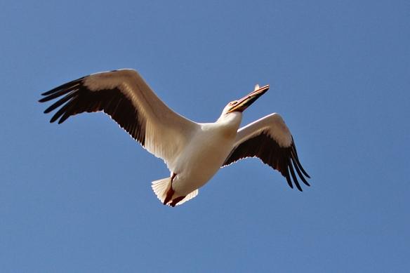 white-pelican-flying