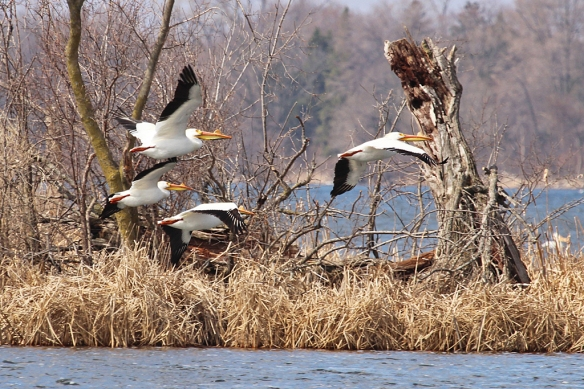 white-pelicans-flying-