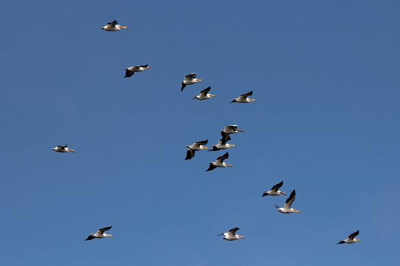 white-pelicans flying-