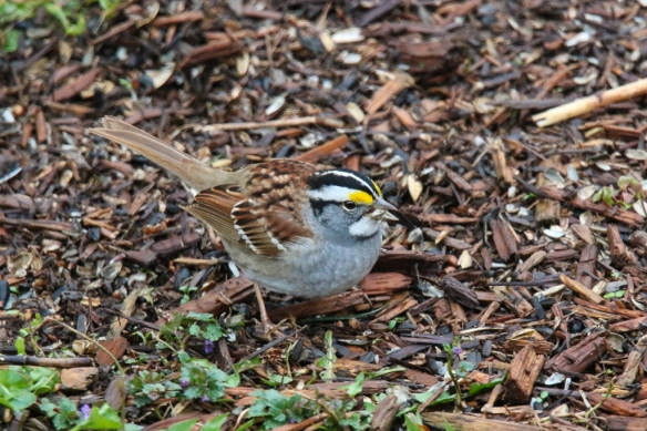 White-throated Sparrow-