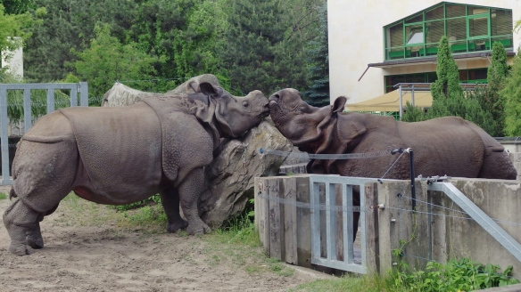 Indian rhinos, Warsaw zoo