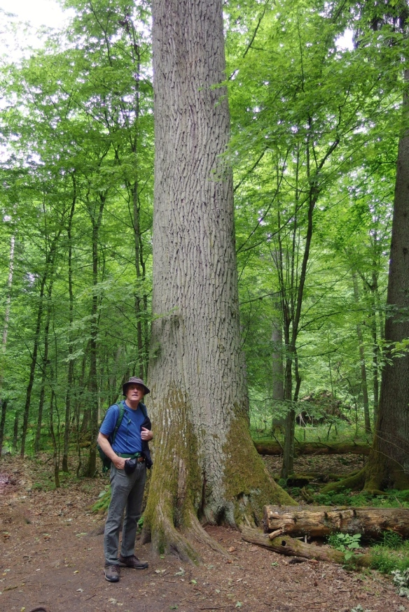 500 year old English oak, Bialowieza forest, Poland