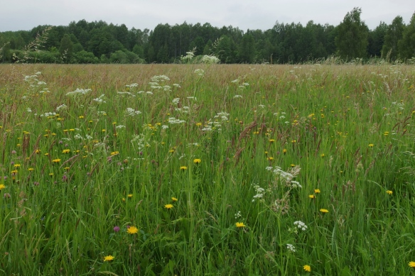 Prairie near Bialowieza forest