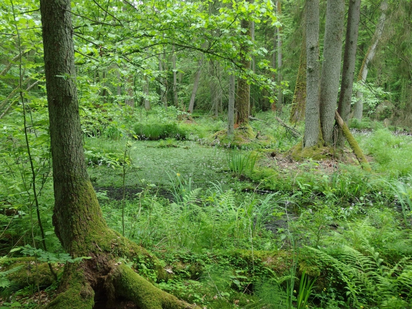 Forest pool, Bialowieza forest, Poland