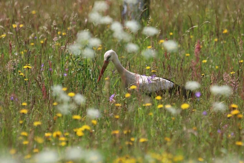 White Stork, Poland