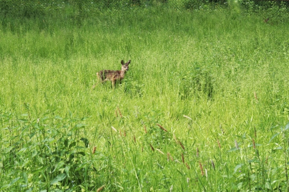 Roe deer fawn