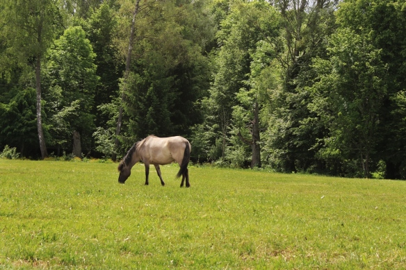 Wild European horse, like the extinct tarpan