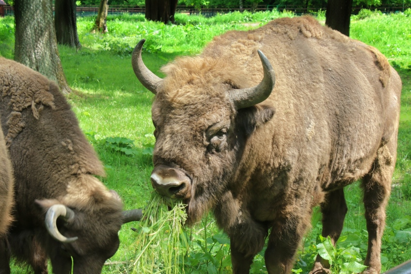 Wisent, European forest bison