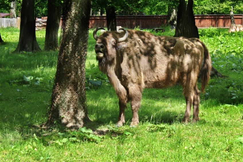 European bison, Wisent