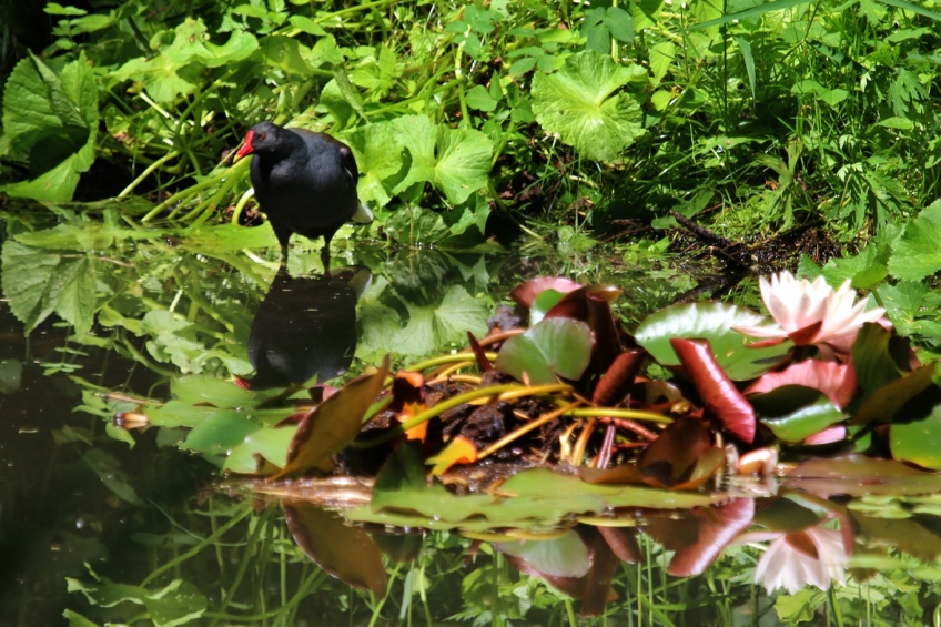 Moorhen in the old botanical garden