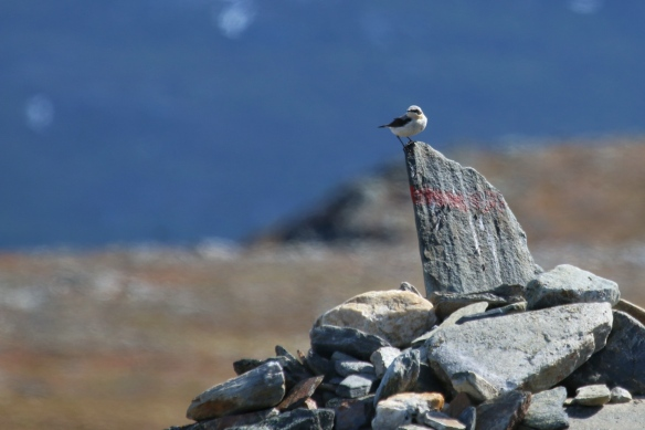 Northern Wheatear, Mt. Njulla, Abisko national park, Sweden