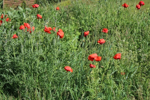 Poppies, Sweden archipelago islands