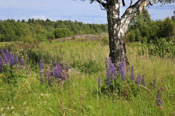 Lupine, Sweden archipelago islands