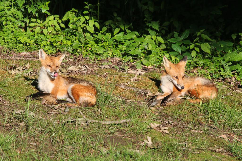 red fox-