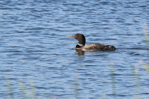 common loon-