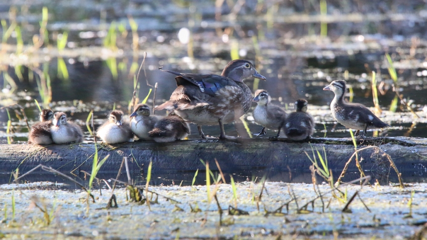wood duck hen and brood