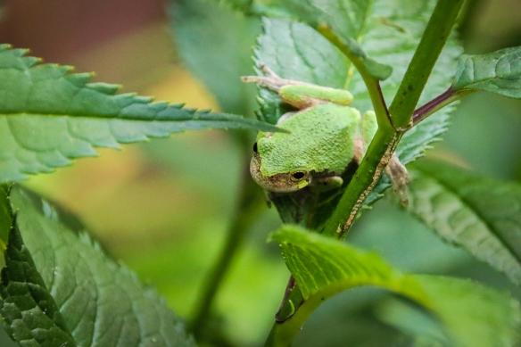 gray tree frog-