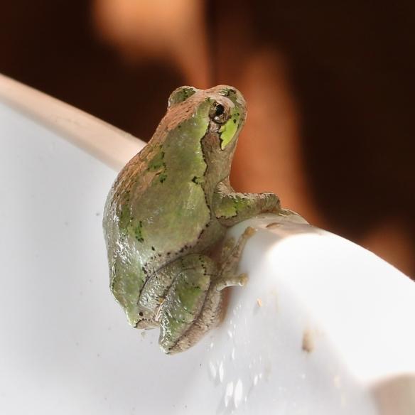 gray-tree-frog-