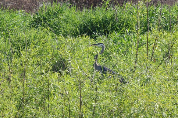 great blue heron-
