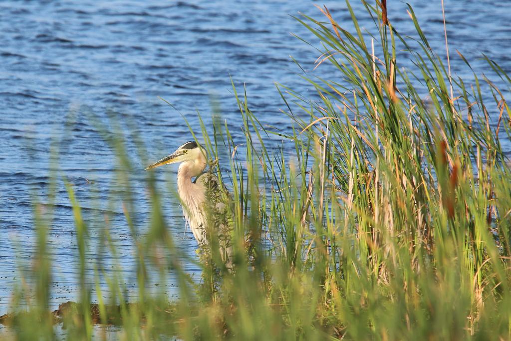 great blue heron-