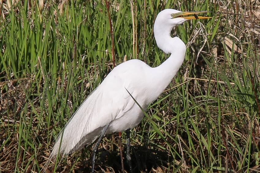 great egret-