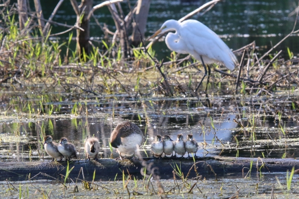 great egret and wood ducklings
