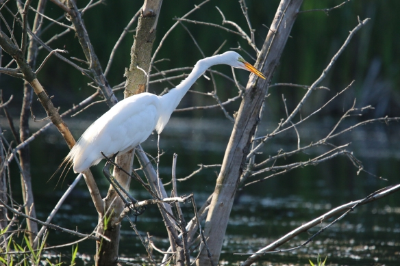 great egret-