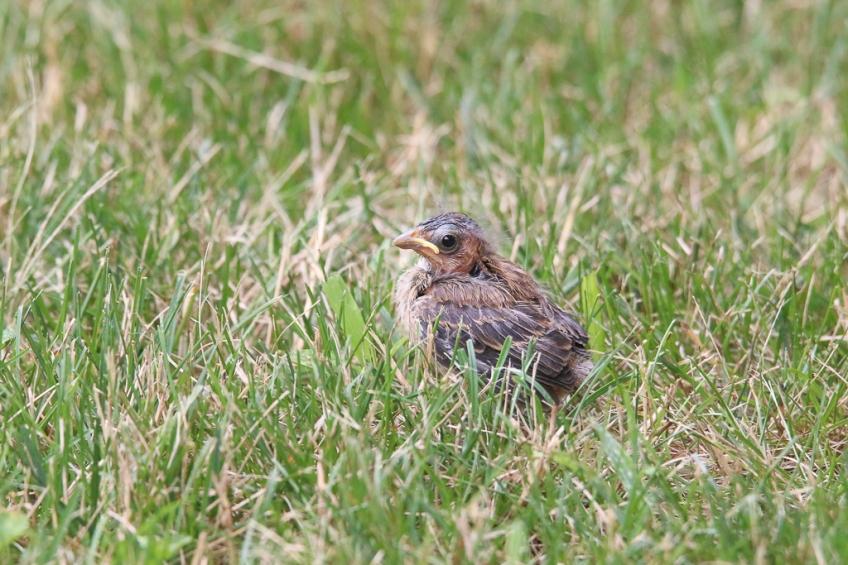 indigo bunting-fledgling