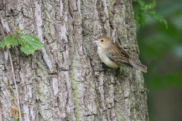 indigo bunting-female