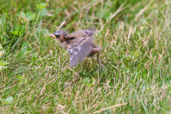 indigo bunting fledgling-
