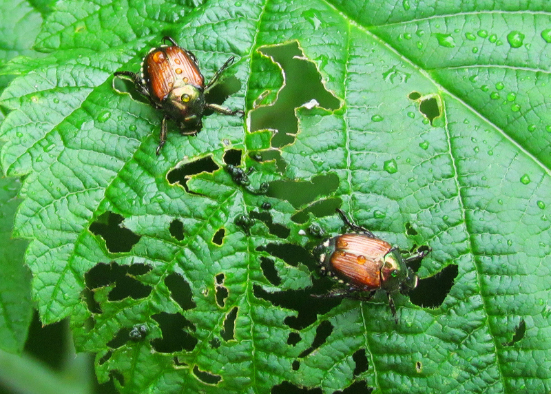 japanese beetle-damage