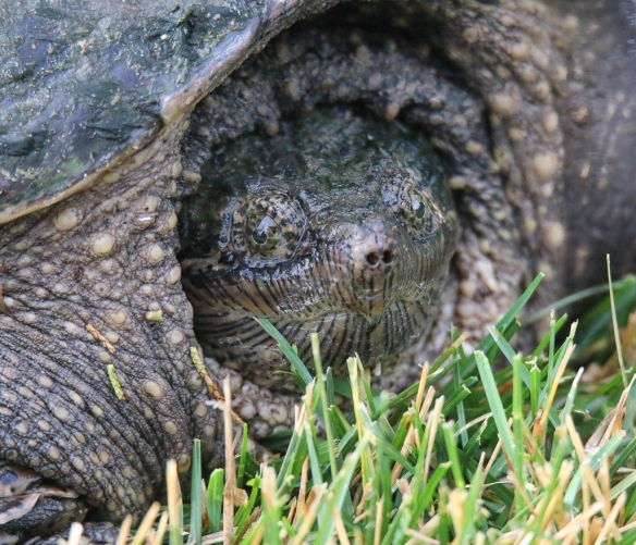 snapping turtle-