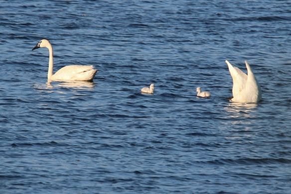 trumpeter swan family-