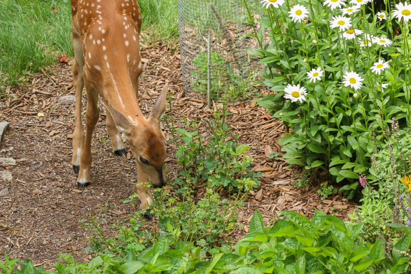 white-tailed fawn-