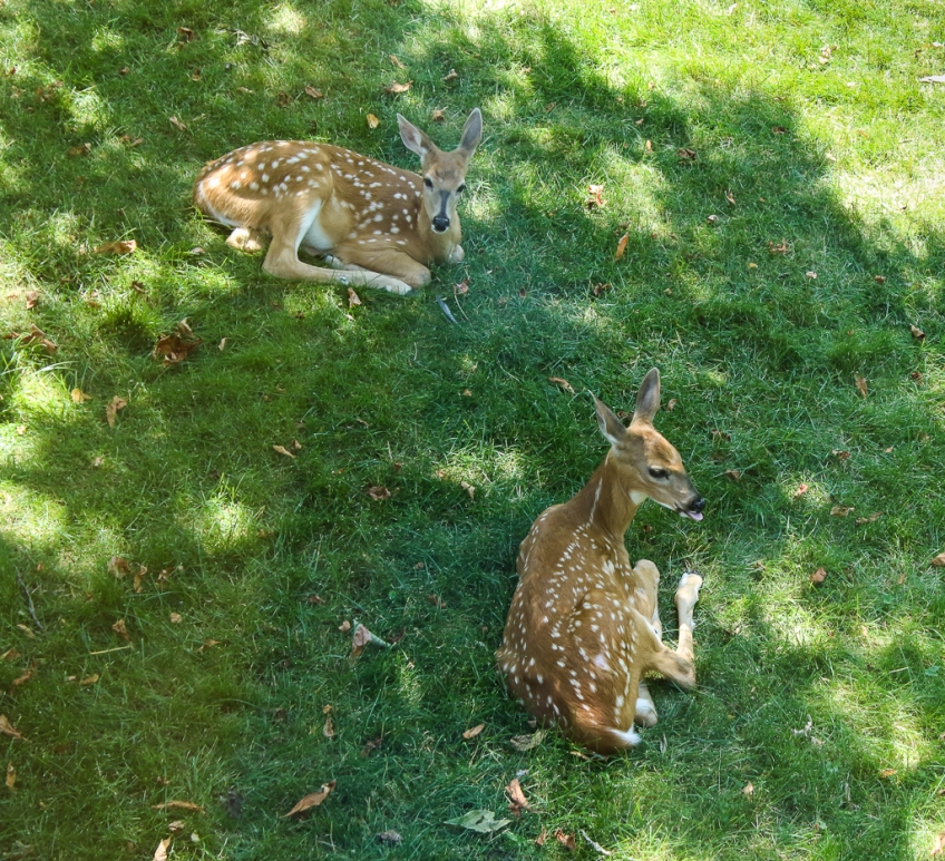 white-tailed fawns-