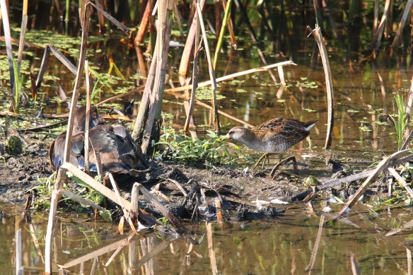 Sora and molting Wood Duck