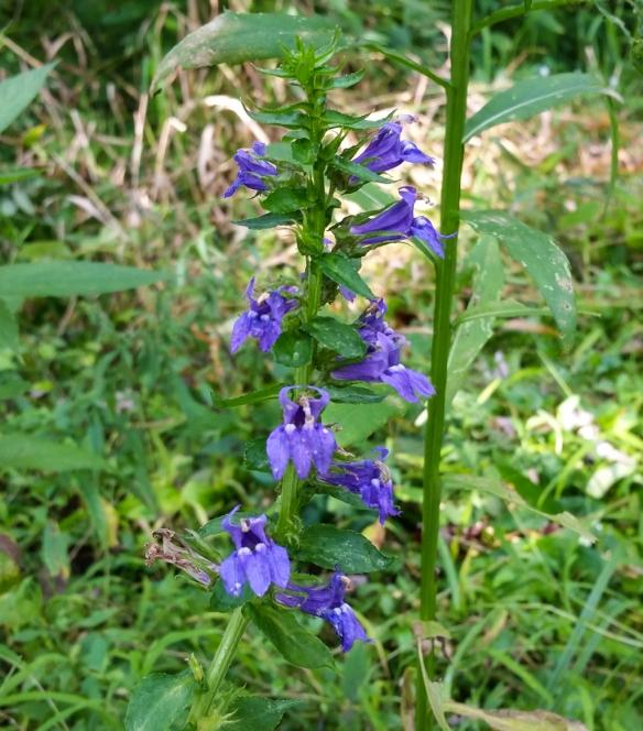 Blue Lobelia - Lobelia siphilitica-